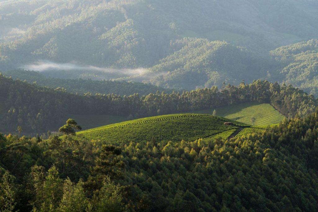 Ladang Teh Tetley